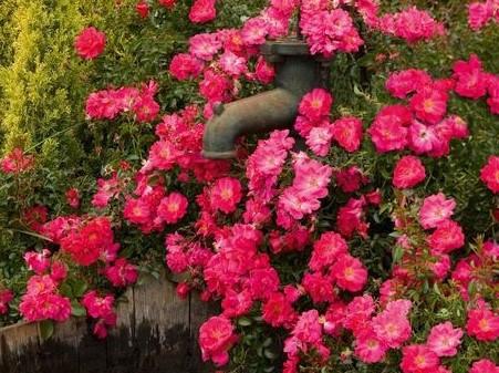 Pink Surpreme Rose