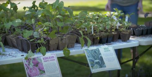 Seedlings on distribution table