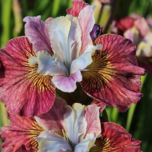 Painted Lady - Siberian Iris seeds - 5 Heirloom seeds per pack