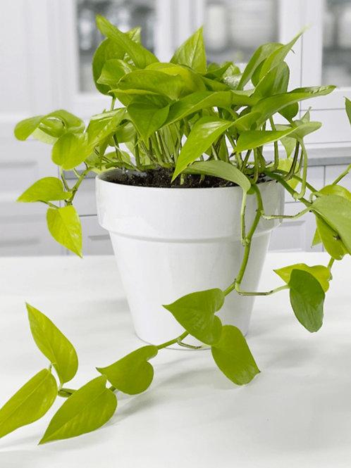 Neon Pothos - Indoor/Outdoor Ornamental Plant