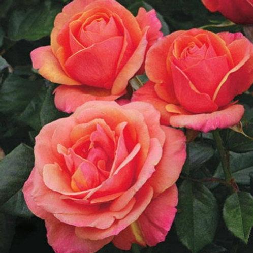 Anna's Promise- Grandiflora Rose