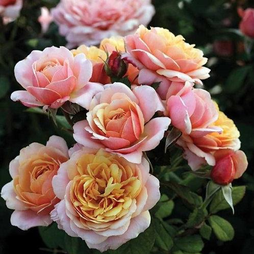 State of Grace- Grandiflora Rose