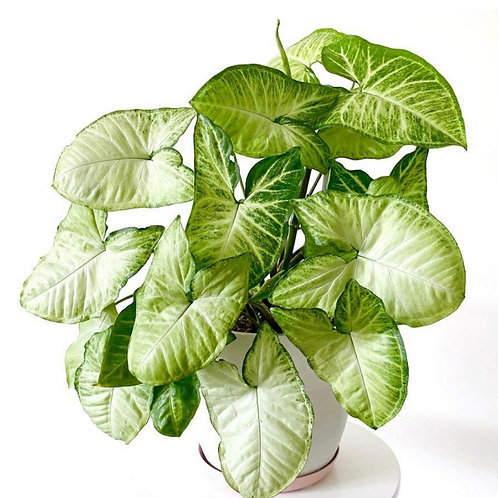 White Butterfly Syngonium - Indoor/Outdoor Ornamental Plant