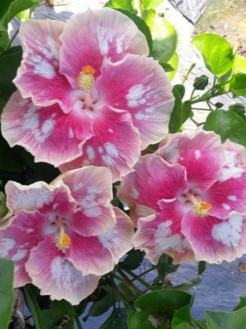 Sidney - Tropical Hibiscus