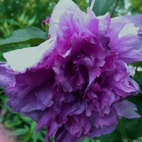 Syriacus Ardens - Double Purple - Tropical Hibiscus