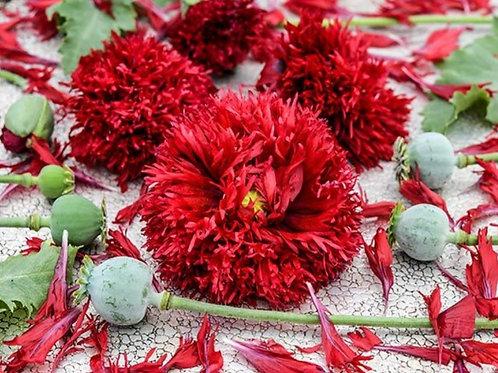 Crimson Feathers  - Poppy