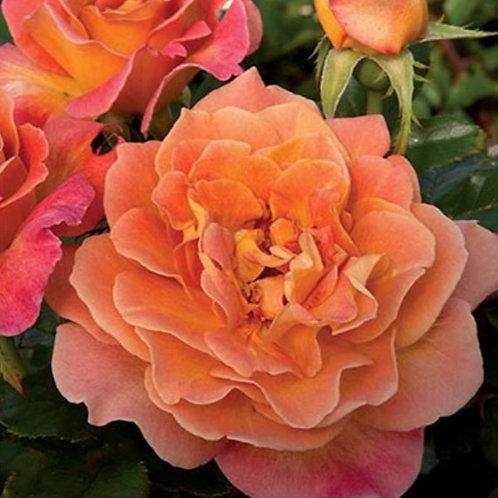 Rosie the Riveter- Floribunda Rose
