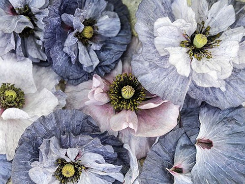 Amazing Grey  - Poppy