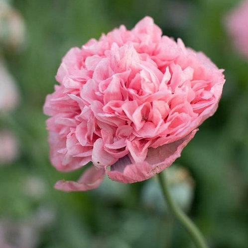 Pink Peony  - Poppy