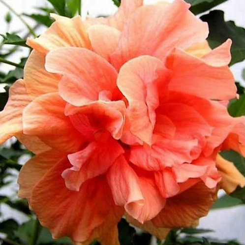 Syriacus Double Peach - Tropical Hibiscus