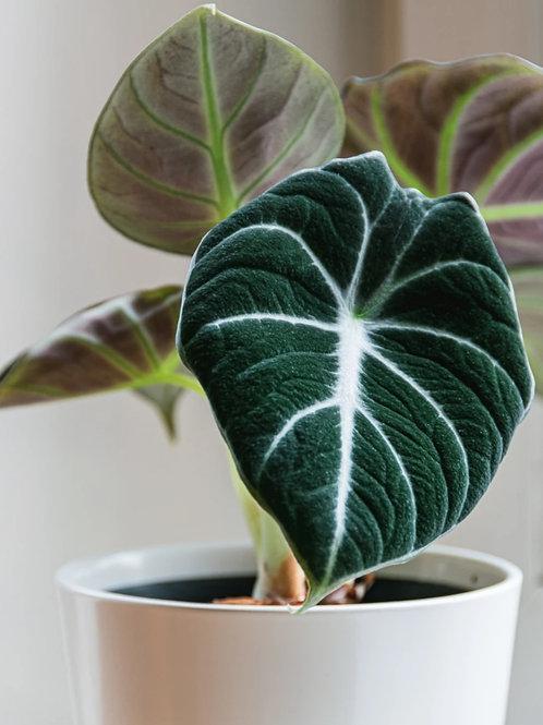 Alocasia Black Velvet - Indoor/Outdoor Ornamental Plant