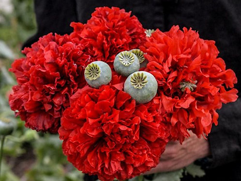 Red Peony  - Poppy