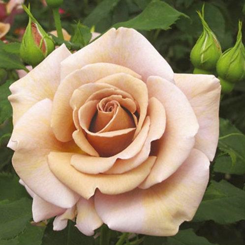 Koko Loko- Floribunda Rose