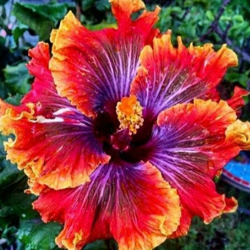 Fiery Furnace - Tropical Hibiscus