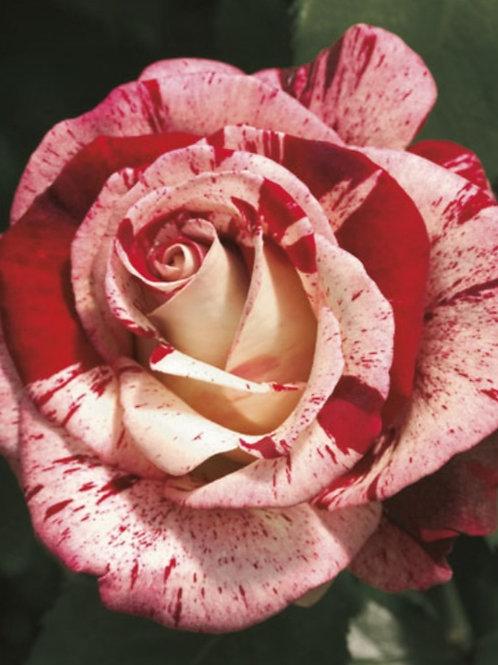 Rock & Roll- Grandiflora Rose