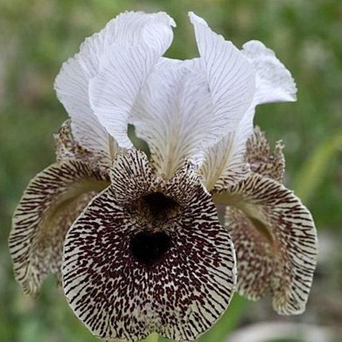 Chocolate Cream - Bearded Iris seeds - 5 Heirloom seeds per pack