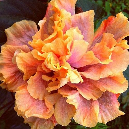 Queen of Dreams - Double Cajun - Tropical Hibiscus