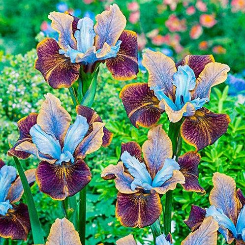 Black Joker - Siberian Iris