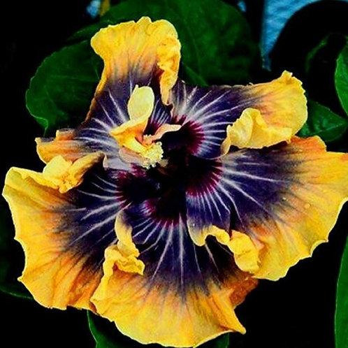 Silver Sun - Tropical Hibiscus