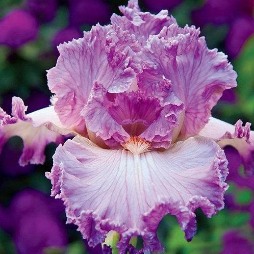 Peggy Sue- Bearded Iris