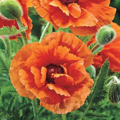 Orange Glow - Oriental Poppy