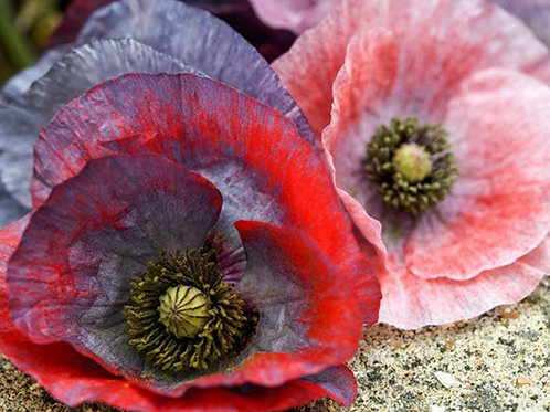 Mother of Pearl  - Mixed Color - Poppy