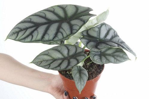 Alocasia Silver Dragon - Indoor/Outdoor Ornamental Plant