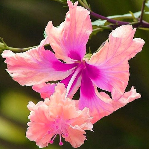 Lion's Tail - Pink - Tropical Hibiscus