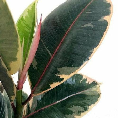 Tineke Variegated Rubber Tree - Indoor/Outdoor Ornamental Plant