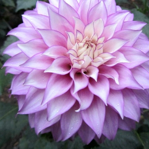 Clearview Debby - Dahlia