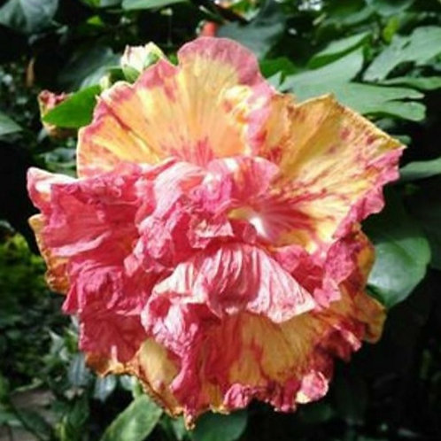 Syriacus Double Yellow/Red - Tropical Hibiscus