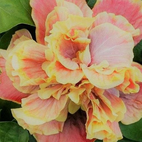 Magic Moments - Double Cajun - Tropical Hibiscus