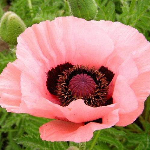 Papaver - Oriental Poppy