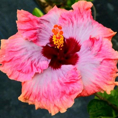 Superb - Tropical Hibiscus