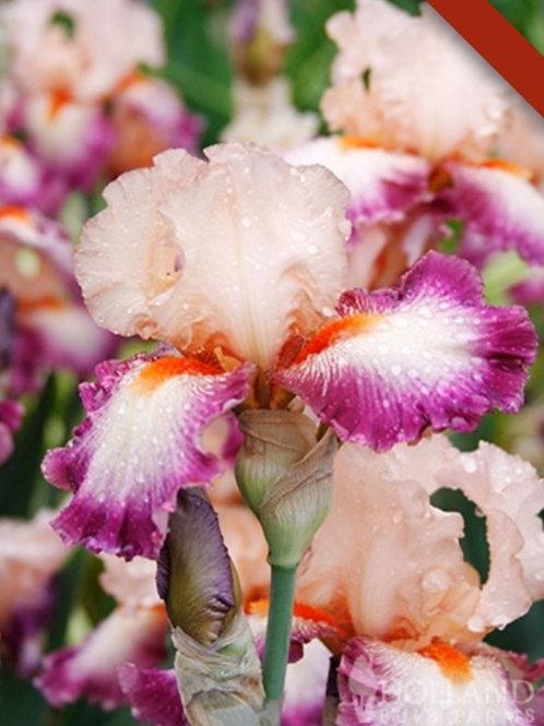 Come Away With Me - Siberian Iris