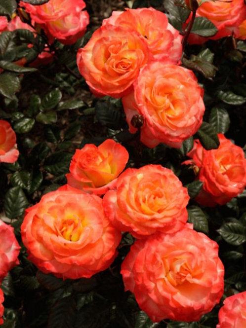 Chihuly- Double Petal Floribunda Rose