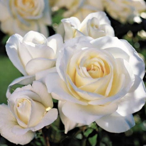 Moondance- Floribunda Rose
