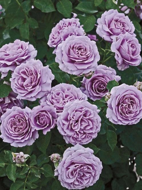 Love Song- Floribunda Rose