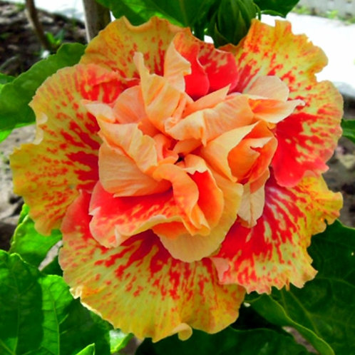 Spotted Sun - Tropical Hibiscus