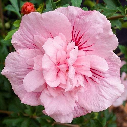 Pink Chiffon - Tropical Hibiscus