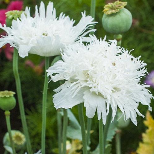 Swansdown  - Poppy