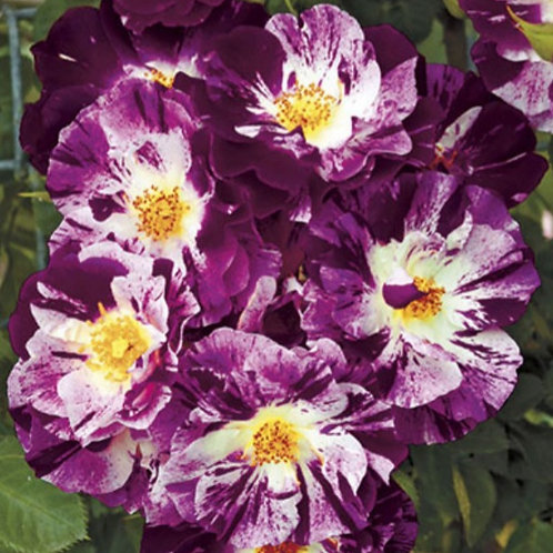 Purple Splash- Climbing Rose