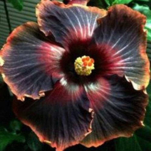 Black Rainbow - Dinnerplate - Tropical Hibiscus