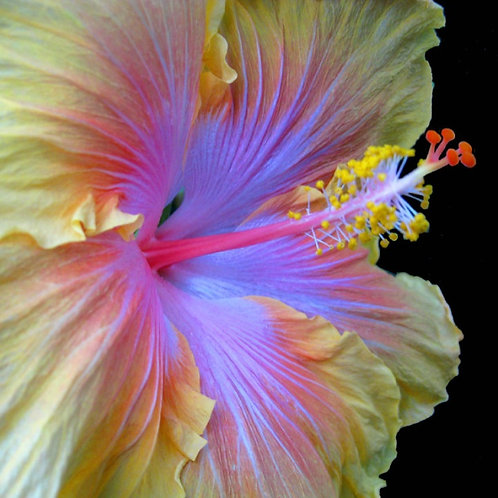 The Path - Tropical Hibiscus