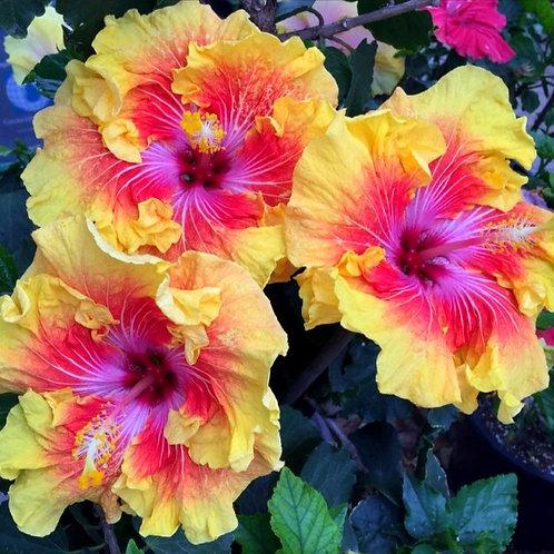Tahitian Sunset Splendor - Tropical Hibiscus