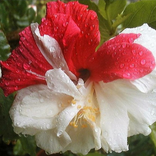 Split Personality - Tropical Hibiscus