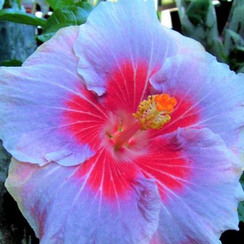 Love Glow - Tropical Hibiscus