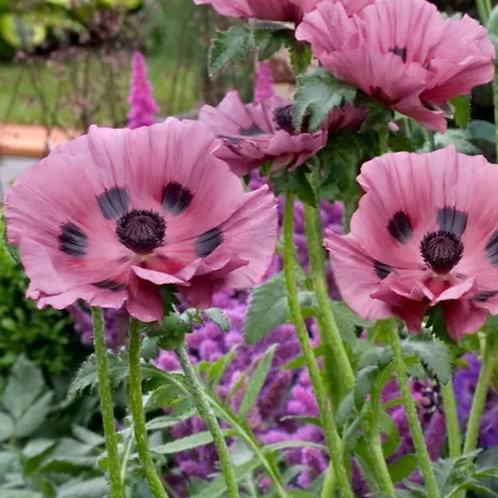 Patty's Plum - Oriental Poppy