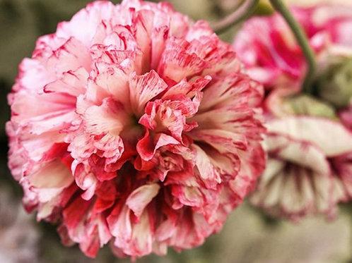 Flemish Antique  - Poppy