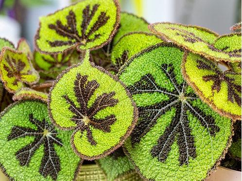 Iron Cross Begonia - Indoor/Outdoor Ornamental Plant
